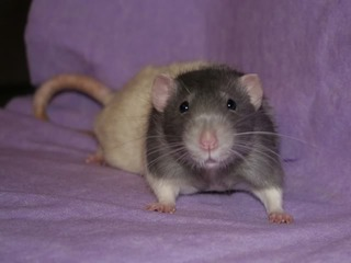3 Buck Rats, Eastwood, Nottinghamshire Pop2