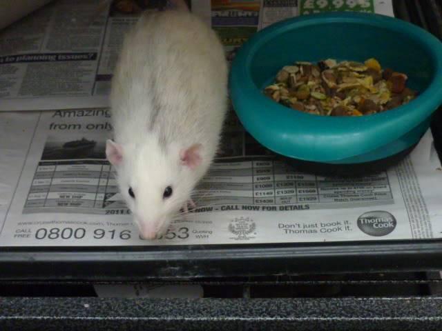 6 buck rats, Nottingham Seb4