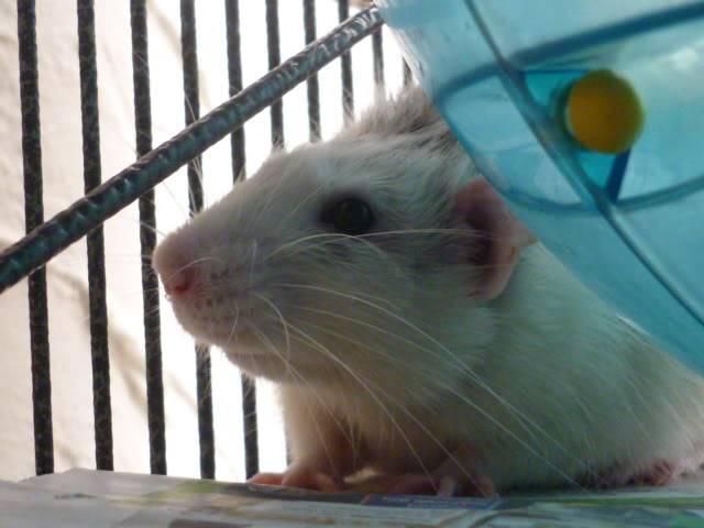 6 buck rats, Nottingham Seb7
