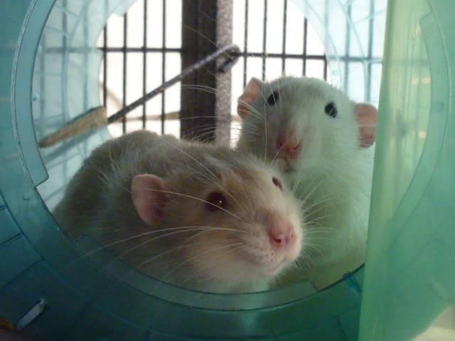 6 buck rats, Nottingham Seb9