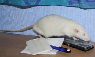 3 Buck Rats, Eastwood, Nottinghamshire Snap