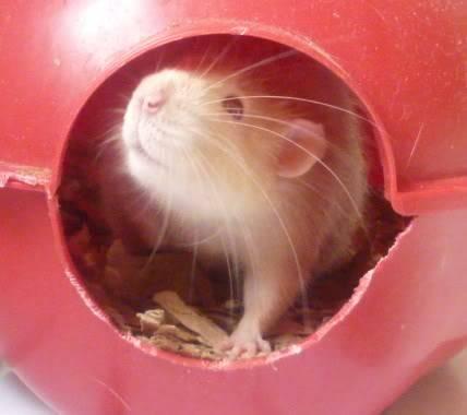 male rats, notts Tomm1