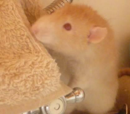 male rats, notts Tomm3
