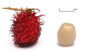 Photos of not-so-common foods fed -- Fun Fruits and Vegetables Rambutan_zps7c916d87