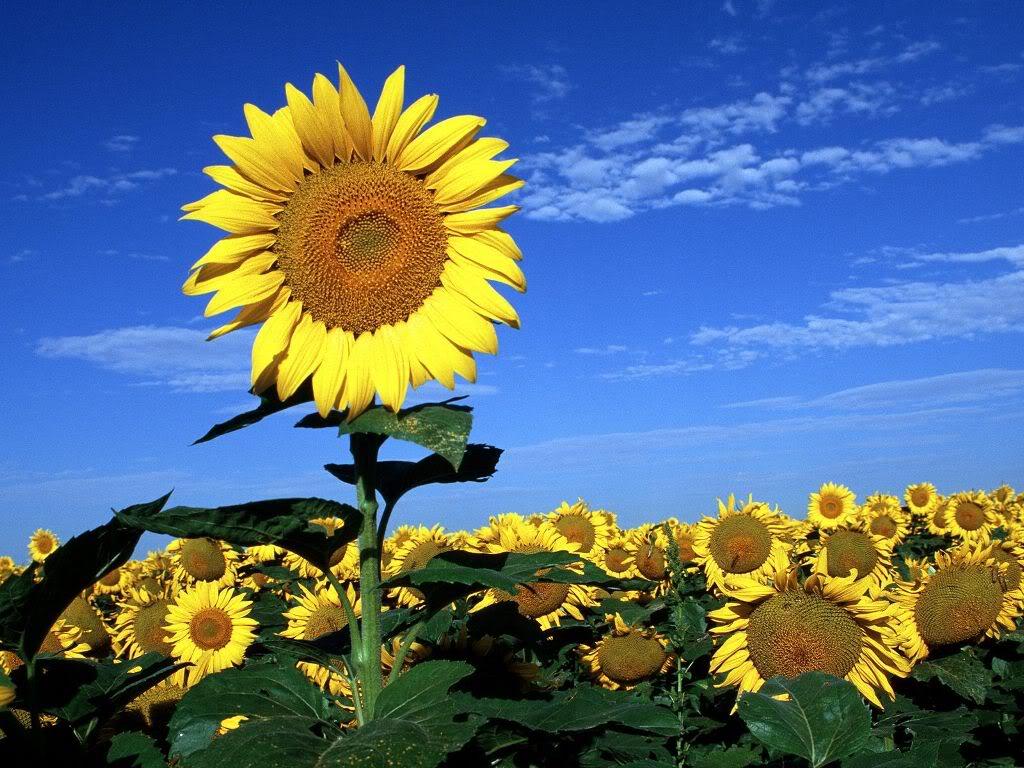 Hoa mặt trời tràn ngập Beautiful-Flowers-101-AFOWICCSG3-1024x768