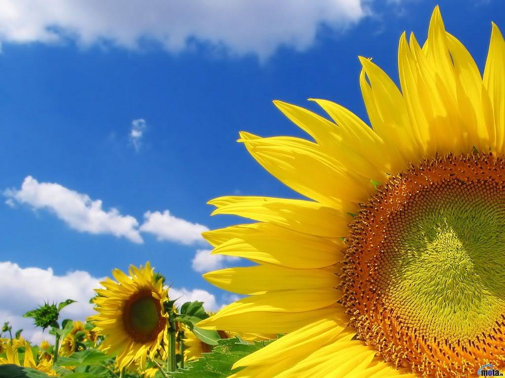 Hoa mặt trời tràn ngập Closeup-Of-Sunflower-1-YTY9BQH5H0-1024x768