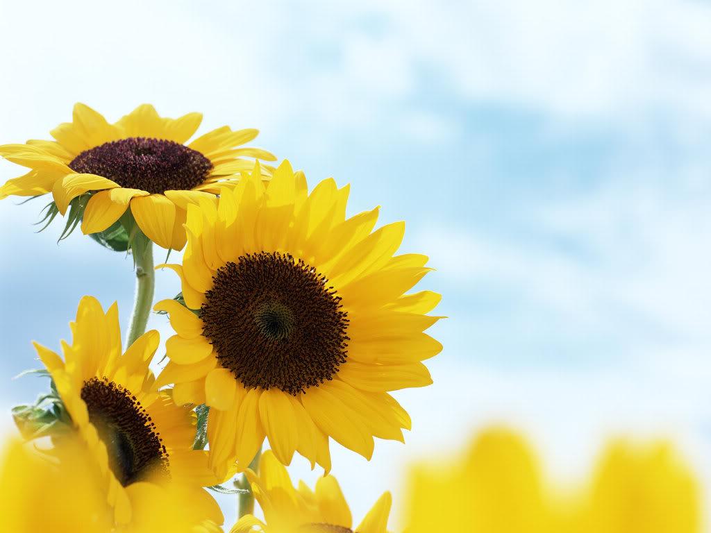 Hoa mặt trời tràn ngập Sunflower-16-2EHIH779HL-1024x768