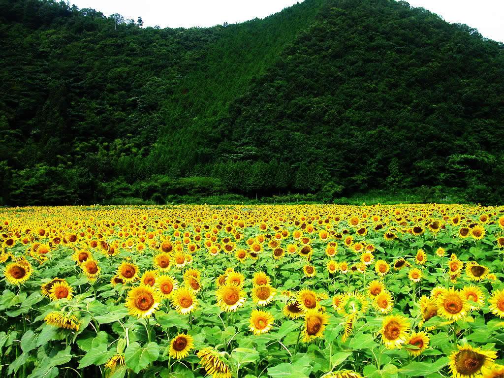 Hoa mặt trời tràn ngập Sunflower-22-W3HB6Z4UD8-1024x768