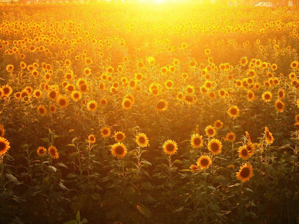 Hoa mặt trời tràn ngập Sunflower-23-HGH05LZYD3-1024x768