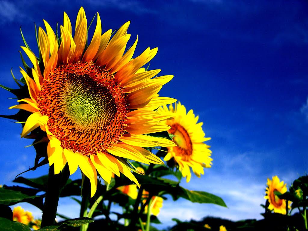Hoa mặt trời tràn ngập Sunflower-35-7DCXX82ANU-1024x768