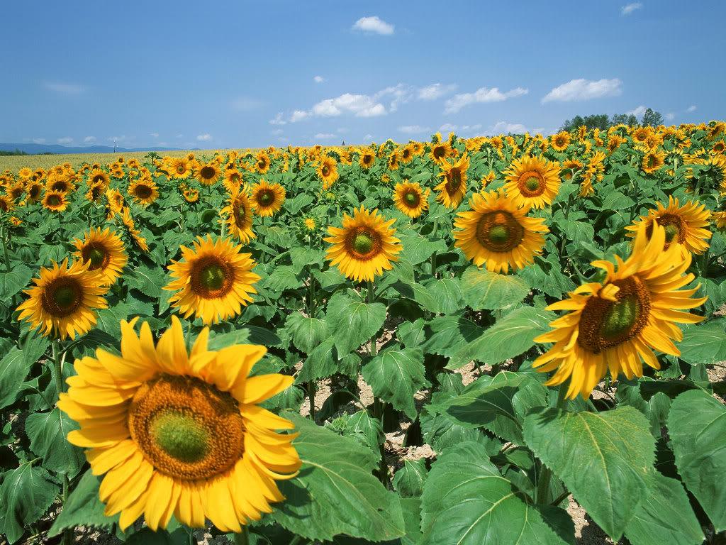 Hoa mặt trời tràn ngập Sunflower-Fields-17-XN7VRCXNPP-1024x768