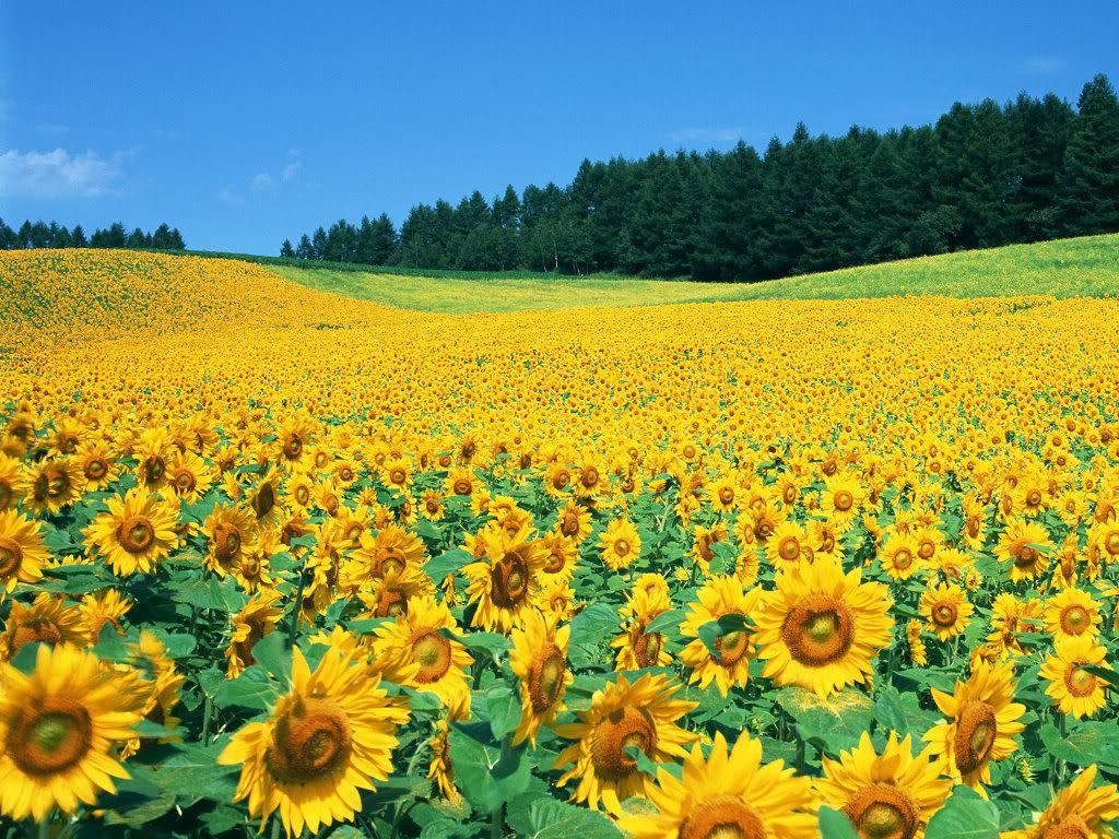 Hoa mặt trời tràn ngập Sunflower-Fields-2-4N5NU5W2TV-1024x768