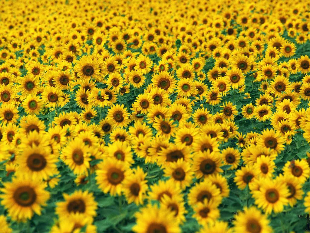 Hoa mặt trời tràn ngập Sunflower-Fields-20-P5N129XMAY-1024x768