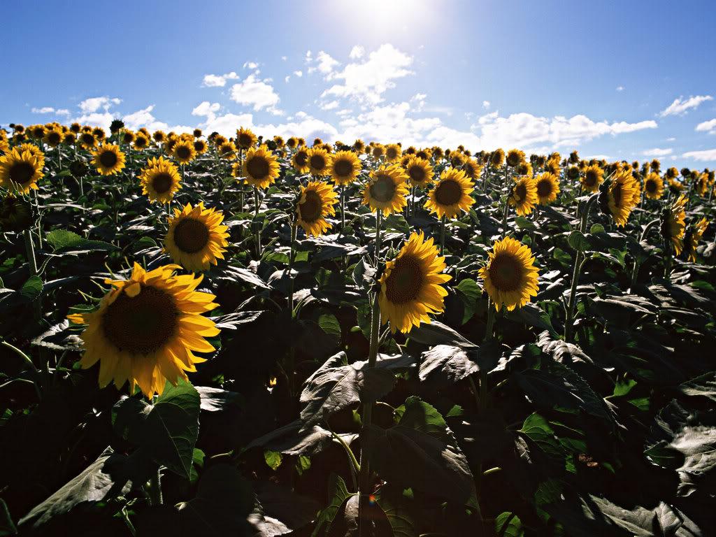 Hoa mặt trời tràn ngập Sunflower-Fields-5-XCVTLZ906U-1024x768
