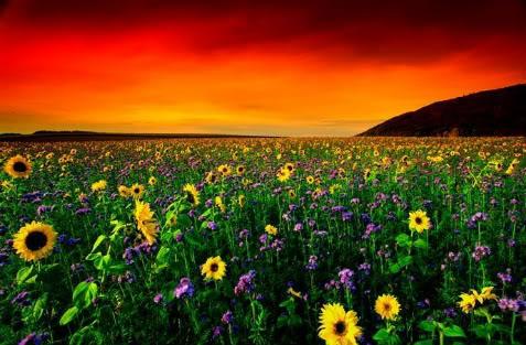 Flower Field Flower-field-scene