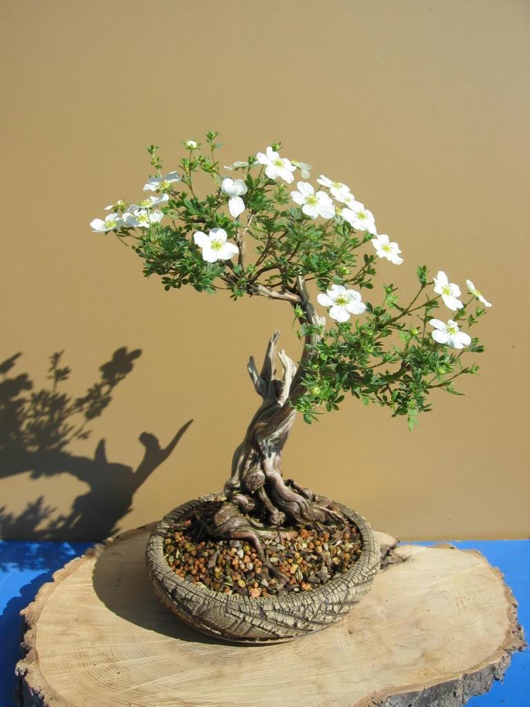 Potentilla flowering 003-28
