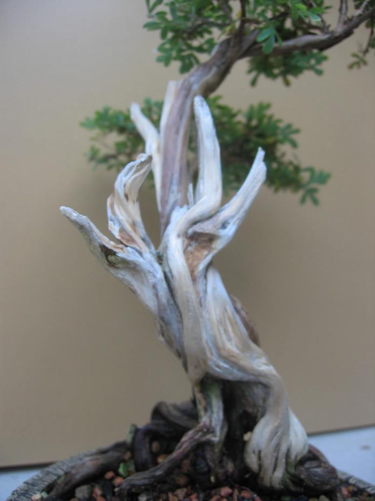 Potentilla flowering 011-26