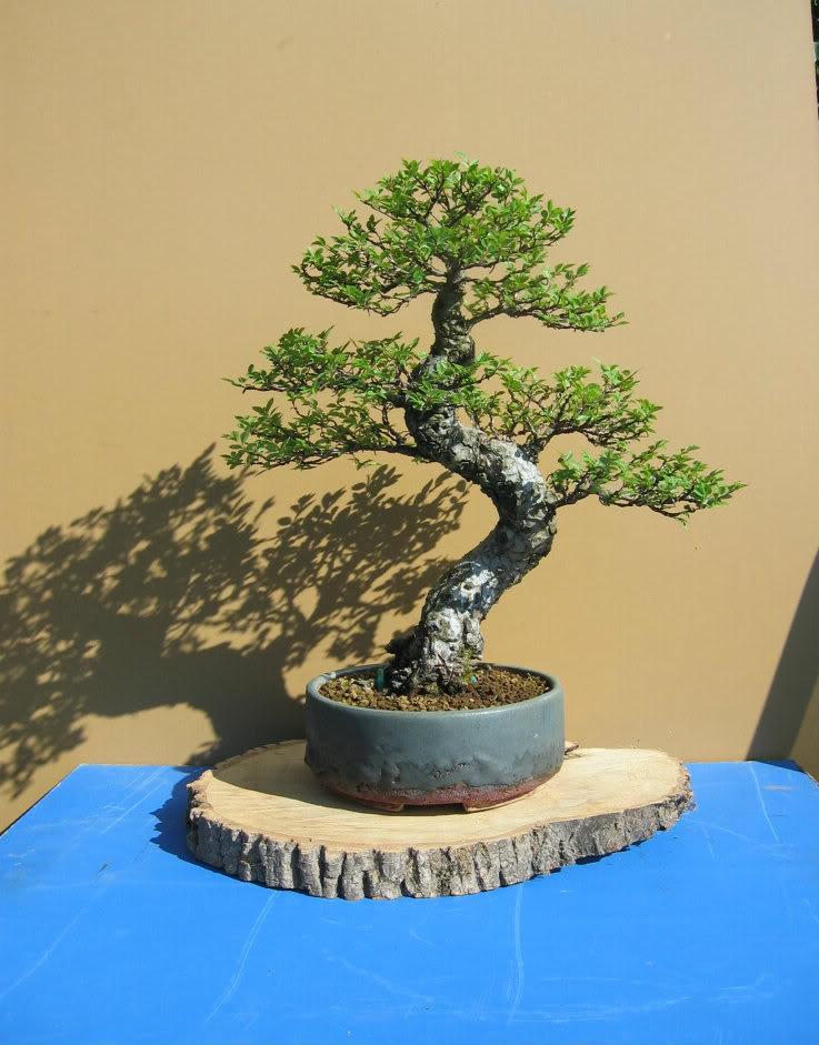 Chinese elm 015-14-1