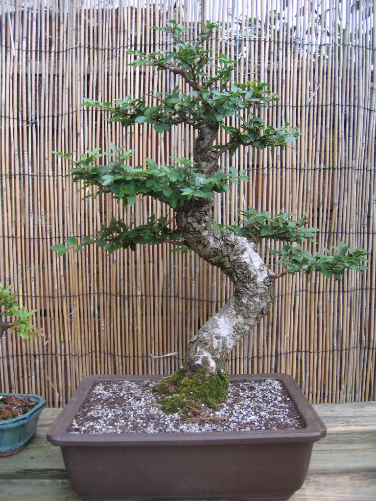 Chinese elm 005