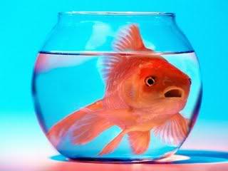 Una guía de compatibilidad entre peces Pez08_zps88a28309