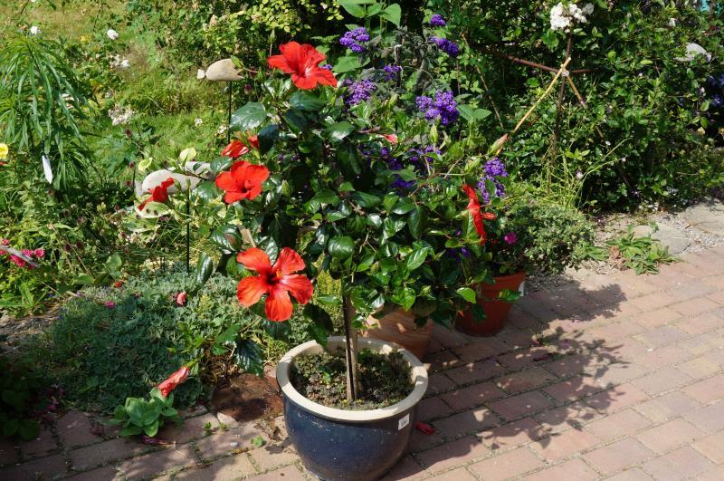 Kübelpflanzen - Seite 7 DSC00176_zps8ba451b1