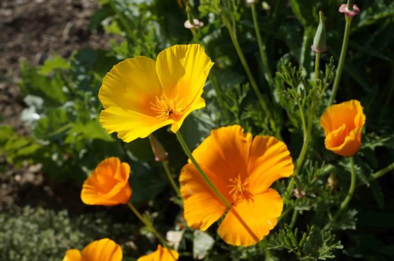 Mohn - Mohngewächse - Papaveraceae - Seite 2 DSC01134_zps963c4342