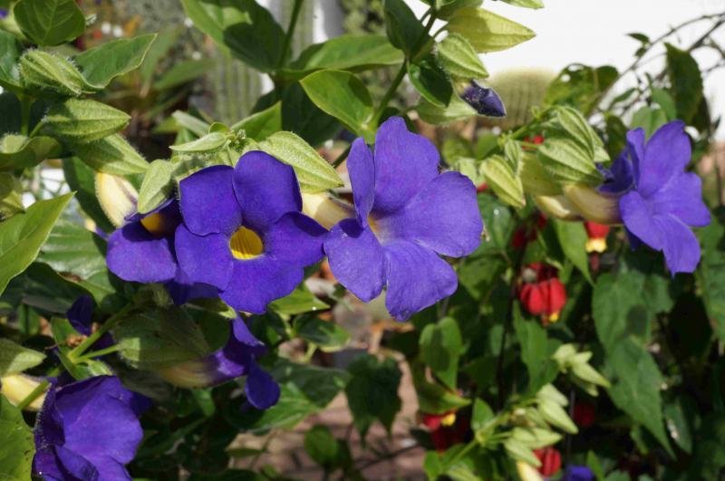 Kübelpflanzen - Seite 6 DSC01624_zps5bba60a0