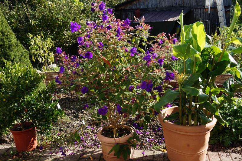 Kübelpflanzen - Seite 6 DSC01795_zps65aae304