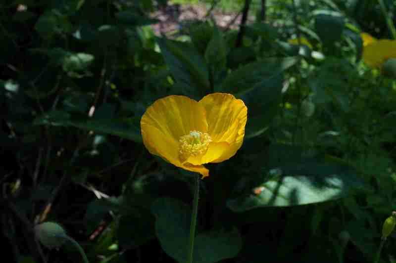 Mohn - Mohngewächse - Papaveraceae - Seite 2 DSC01943_zpspd8rigyi