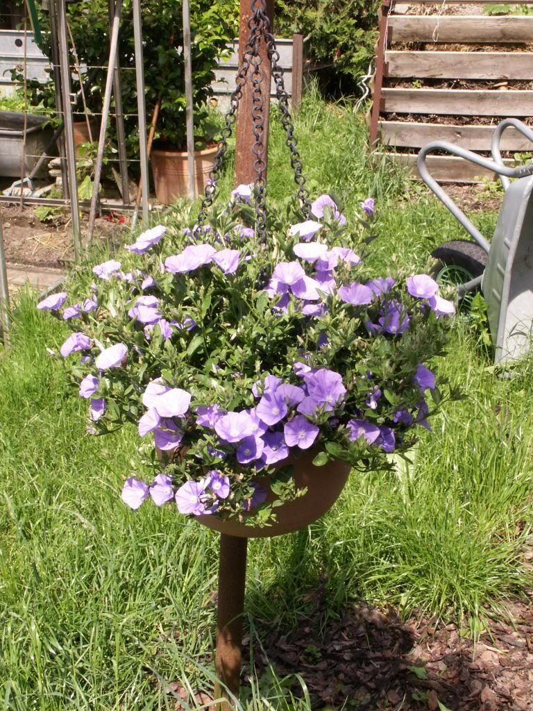 Kübelpflanzen - Seite 6 PICT4353_zps874ddac6