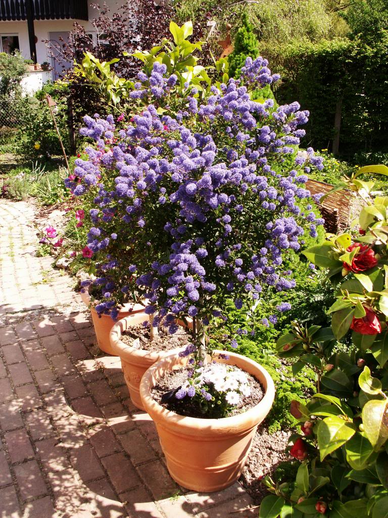 Kübelpflanzen - Seite 6 PICT4468_zps619b4b9d