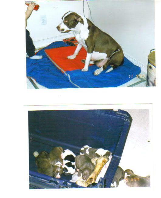 BRITTLE IS HAVING HER PUPPIES!!!!!! - Page 2 PITTYMOMMYANDPUPS