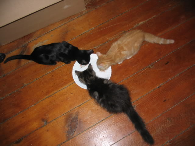 My Cats Thread with 50% Cotton & Kitten Food