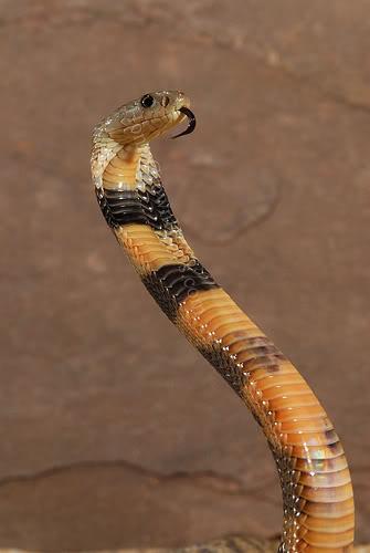 10 loài động vật nguy hiểm nhất hành tinh CS08109151_1_11