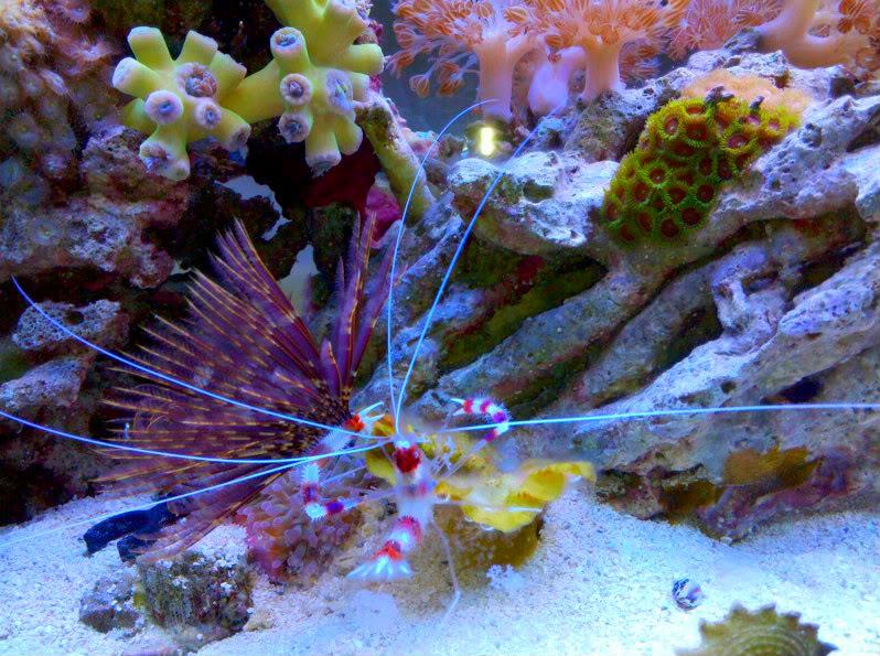 Coral Banded Shrimp 38ea0b43