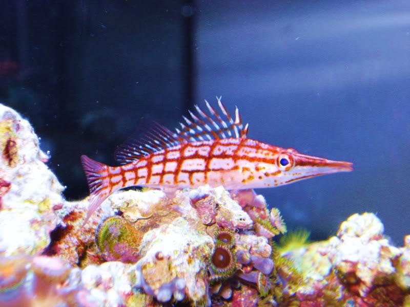 Longnose Hawkfish DSC03416