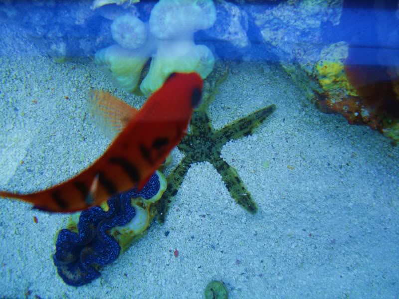 sand sifting starfish DSC03497
