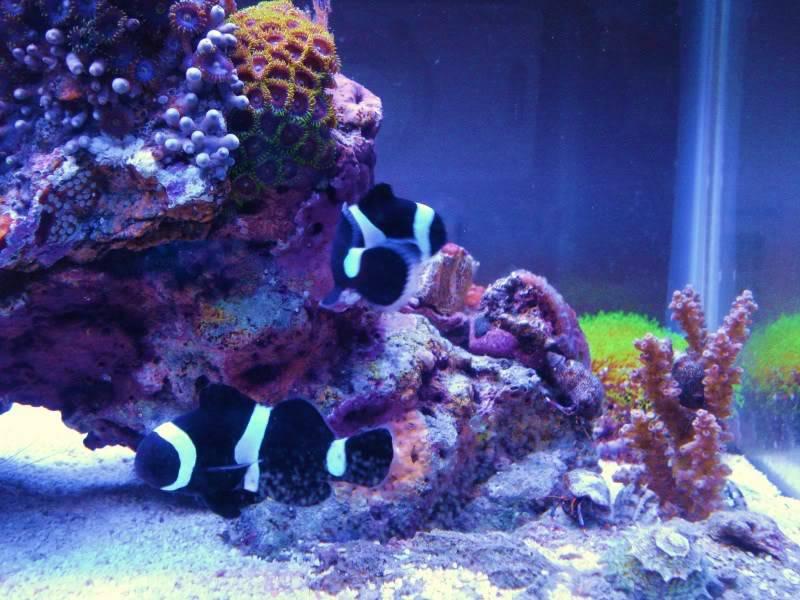 Black Ocellaris Clownfish DSC03668