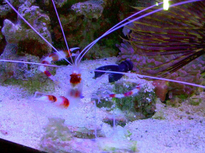 Coral Banded Shrimp Aee815b6