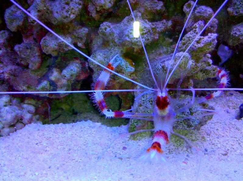 Coral Banded Shrimp C1e6606e