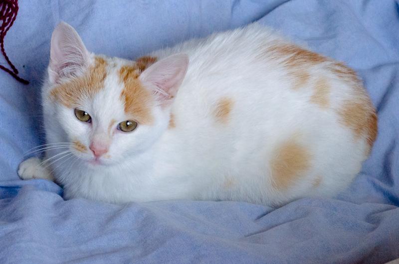 Lyly (ancienne Jakadi), femelle née le 1/09/2014 blanche tachetée de roux JakadiS1-19_zps6edcd2d6