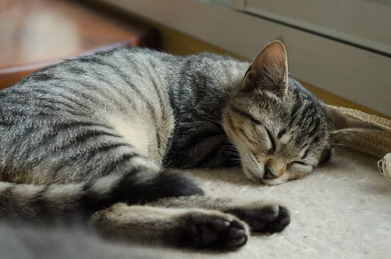 Janet, femelle type européenne tigrée, née le 15 juin 2014 - Page 2 JanetJ15-7_zpsadb070dd