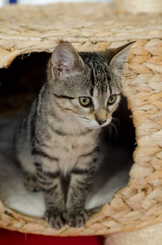 Janet, femelle type européenne tigrée, née le 15 juin 2014 - Page 2 JanetJ8-5_zps4cd396e6
