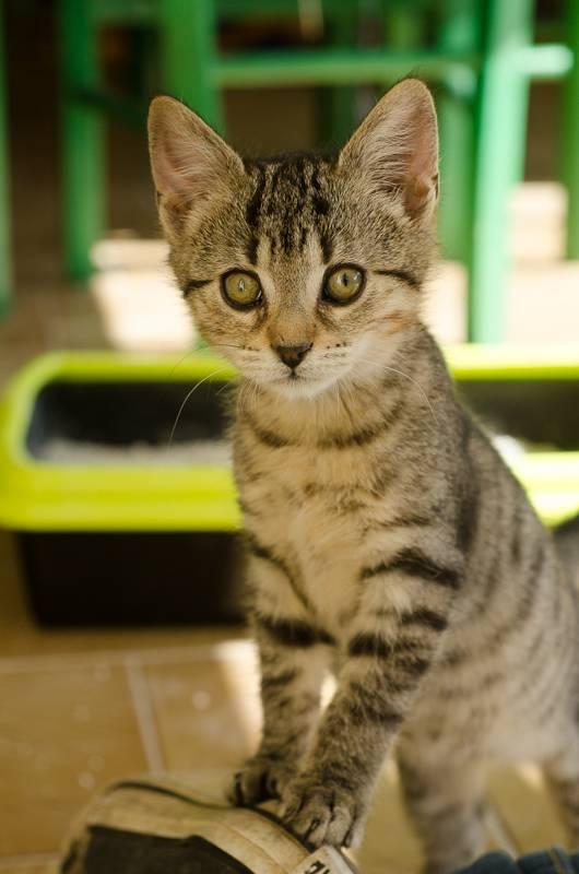 Janet, femelle type européenne tigrée, née le 15 juin 2014 JanetS1-4_zpsb20f2b81