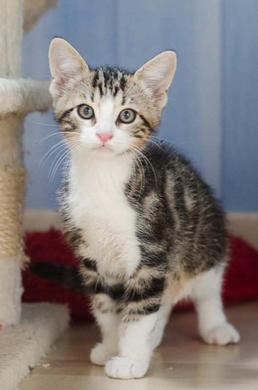Jim, mâle type européen blanc et tigré né le 15 juin 2014 Jimchatonblancettigreacute-2_zps3675116a