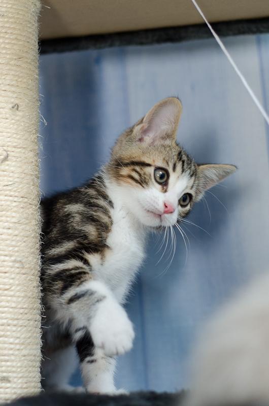Jim, mâle type européen blanc et tigré né le 15 juin 2014 Jimchatonblancettigreacute-8_zps01f98d96