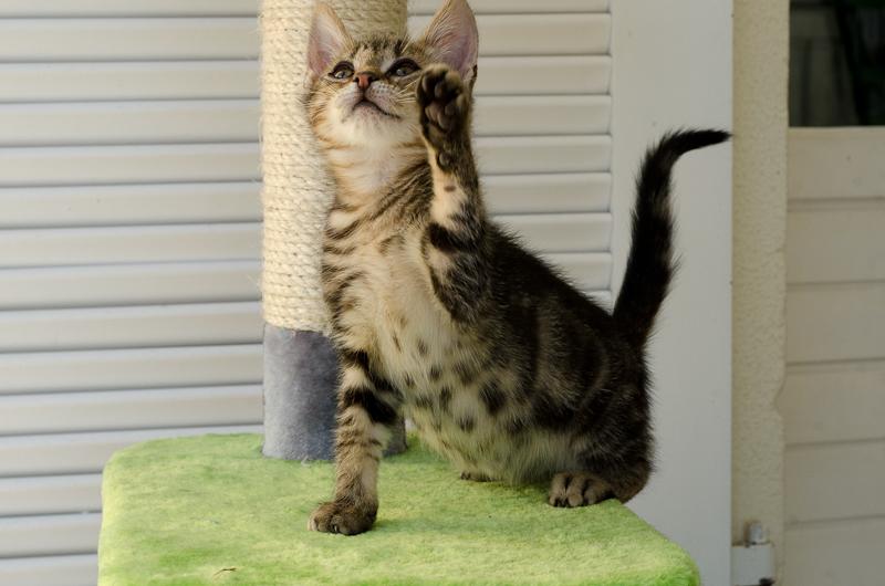 Jonas, mâle type européen tigré, né le 15 juin 2014 JonasS1-3_zps6512b378