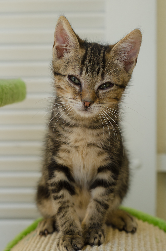 Jonas, mâle type européen tigré, né le 15 juin 2014 JonasS1-6_zps77237179