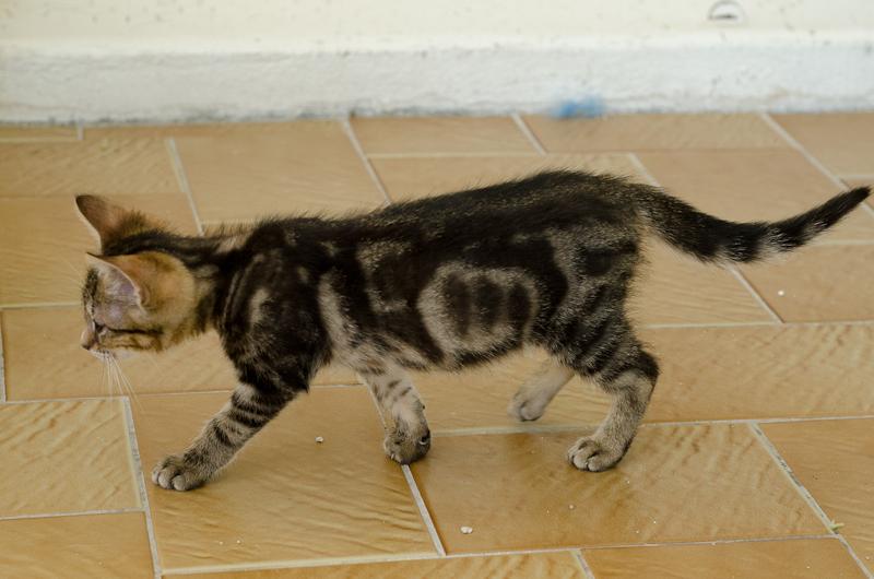 Jonas, mâle type européen tigré, né le 15 juin 2014 JonasS1-8_zps13199c96