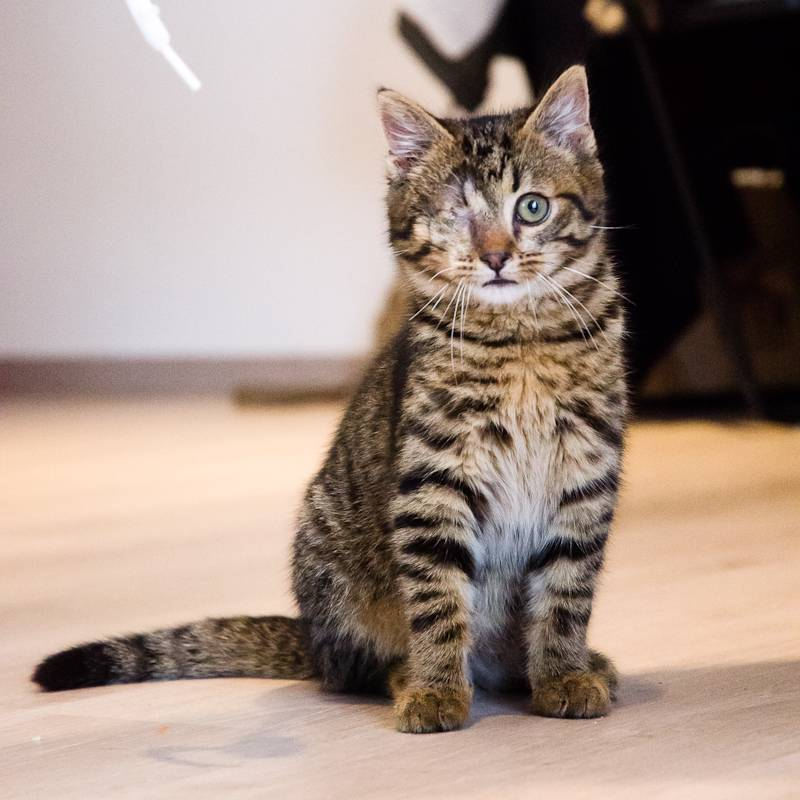 Albator, mâle type européen tigré né 15/10/2014 AlbatorS1-29_zps249989cb